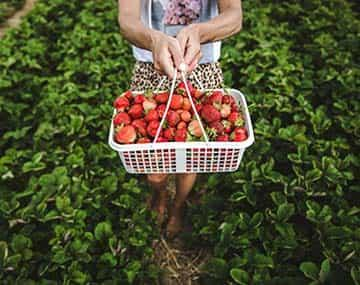 An agri-food pilot worker holds a basket of strawberries in a field.